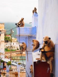индия-обезьянки