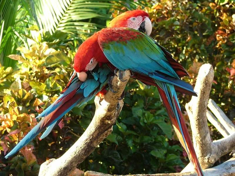 Попугаи на Пунто-Кана