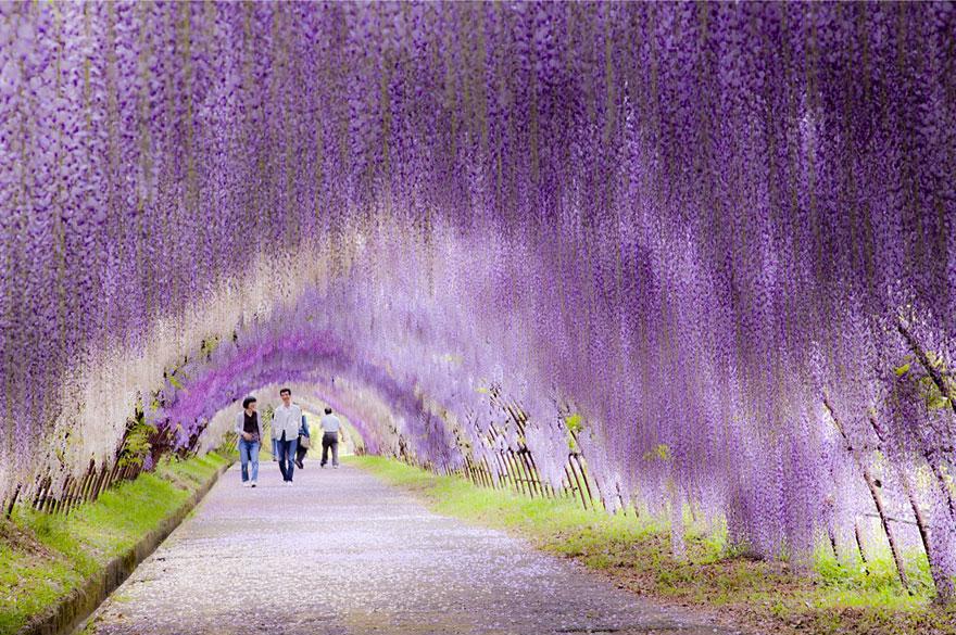 Тоннель Вистерия | Япония | Турагентство Мультипасс | 8 (499) 653-6300